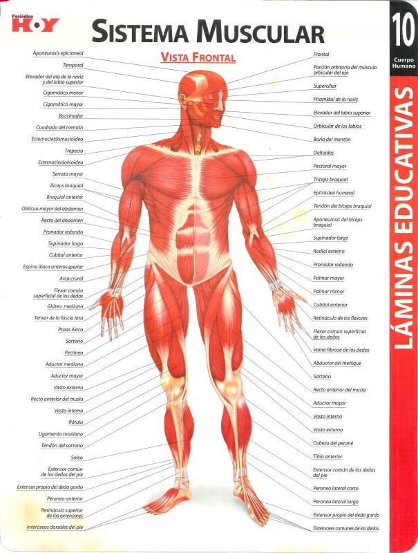 Asombroso Sistema Muscular Vista Frontal Composición - Anatomía de ...